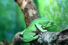 Giant Waxy Monkey Tree Frog