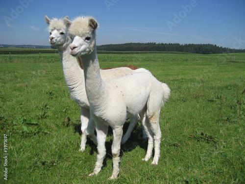 Poster Lama Two Alpakas