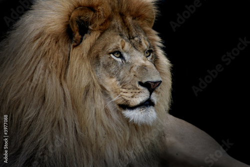 Fotobehang Leeuw Lion on Black