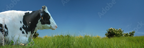 Vache Vache couchée dans le pré