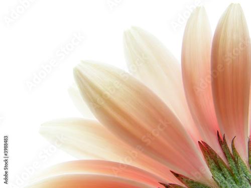 Foto-Lamellen - pink gerbera