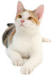 canvas print picture Cat on white background