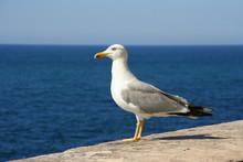 Mouette Contemplant La Mer