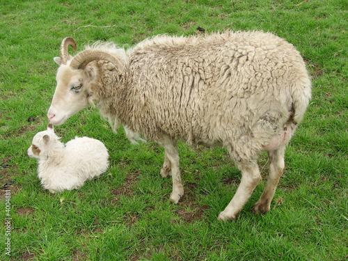 Soay ewe Pheobe and lamb Becky Canvas Print