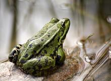 Commen Green Frog