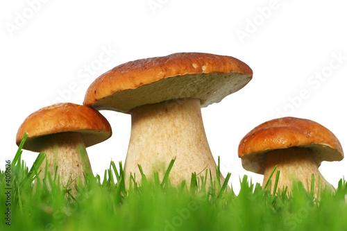 Foto-Leinwand ohne Rahmen - Wild mushroom family (von Acik)