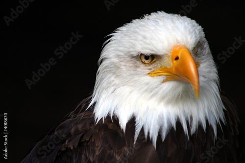 Poster Aigle prédateur 2/3