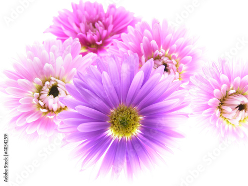 colorful asters