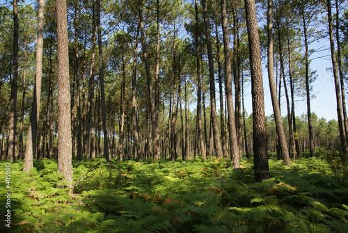 Fotografie, Obraz forêt des landes