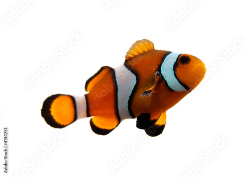 Canvas Print Clownfish