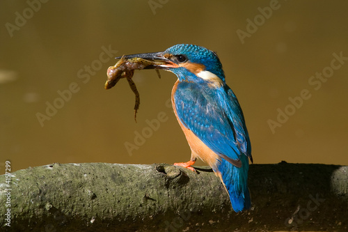 Foto The kingfisher with frog
