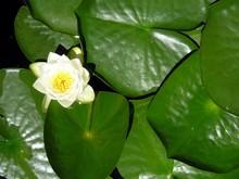Lilypad Flower