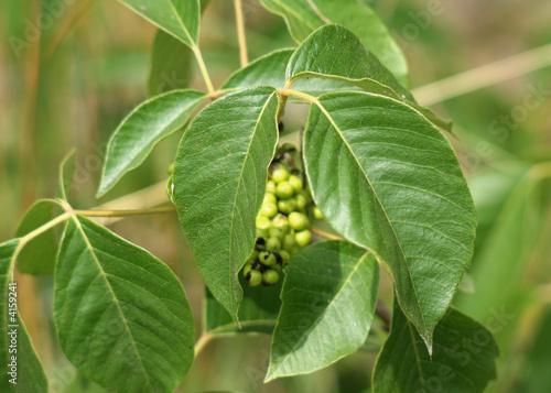 Fotografie, Obraz  Poison Ivy Closeup