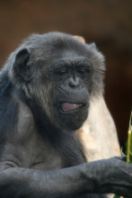 Chimpanzee Monkey With Mouth O...
