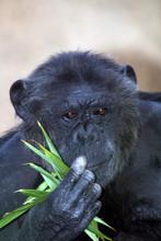 Black Chimpanzee Eating