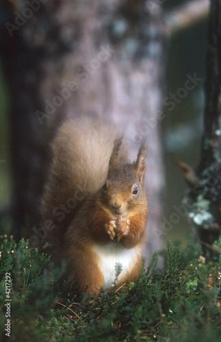 Printed kitchen splashbacks Squirrel Red Squirrel