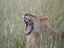 Male Lion Showing His Teeth, T...