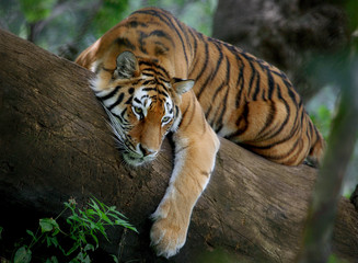 Fototapeta Tiger on tree
