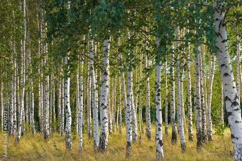 Foto op Aluminium Berkbosje Russian birches