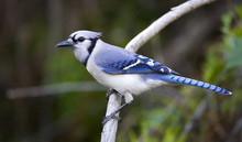 Blue Jay On A Branch.