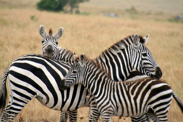 Obraz na Szkle Zebry Zebra family