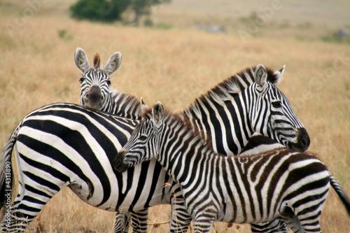 Zebra family - 4313890