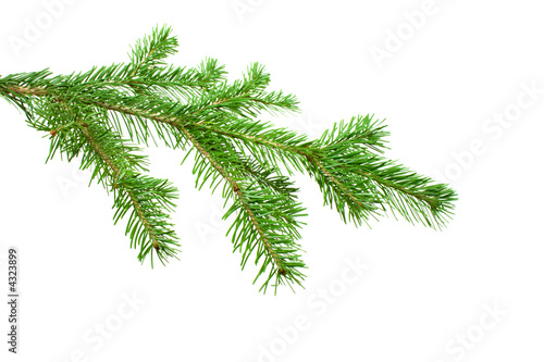Photo the silver Fir Tree Branch isolated on white