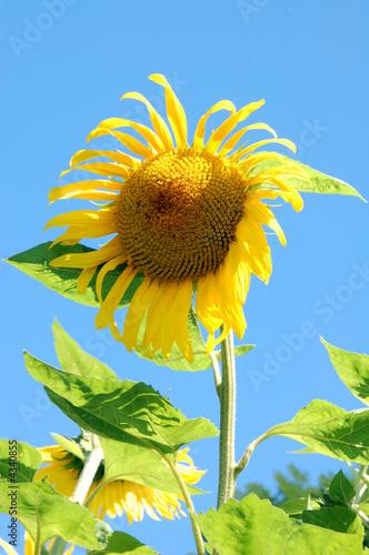 Sunflower Sunflower in a field in the Savoie in France