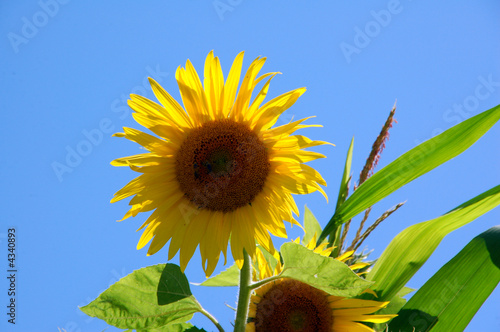 Montage in der Fensternische Sonnenblume Sunflower in a field in the Savoie in France