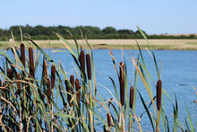 Bulrushes In Summer Breeze By ...