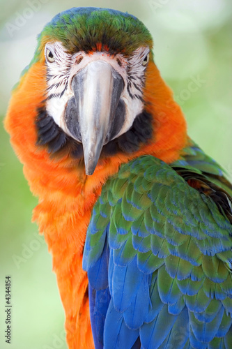 Tropical macaw looking at camera #4344854