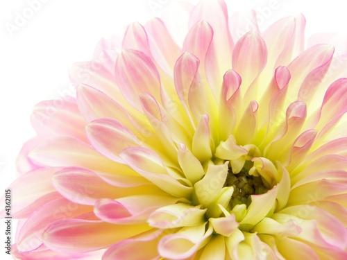 Fotobehang Macro pink dahlia