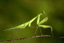 Praying Mantis 03