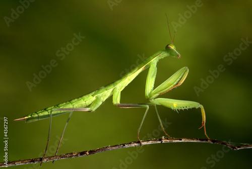 Obraz na plátně  praying Mantis 03