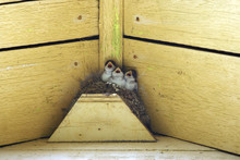 Nestlings Of A Swallow Sit In A Jack