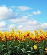 Leinwandbild Motiv tulips