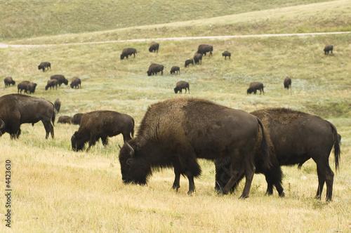 Tuinposter Buffel Buffalo Herd 5
