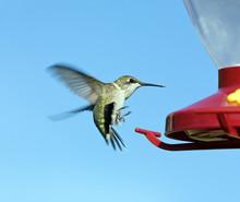 Female Ruby-throated Hummingbird Landing On A Red Feeder