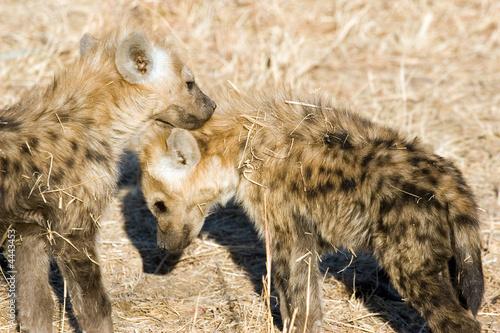 Poster Hyène hyena cubs
