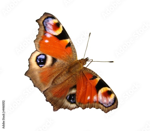 Papillon : Paon du jour Canvas-taulu