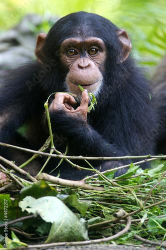 Fotografie, Tablou Chimpanzee