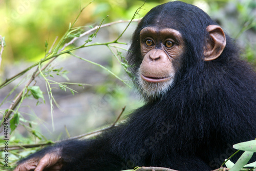 Photo Chimpanzee