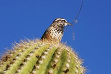 Cactus Wren With Twig