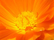 Leinwandbild Motiv orange flower