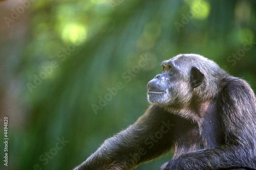Chimpanzee Poster Mural XXL