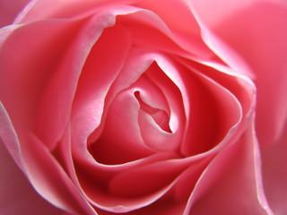 Fototapetarosenblüte 3