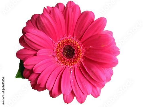 Foto op Aluminium Gerbera Pink Gerber