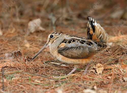 Aufkleber - American Woodcock Courtship Display