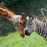 Fototapeta Zebra - zèbre et girafe