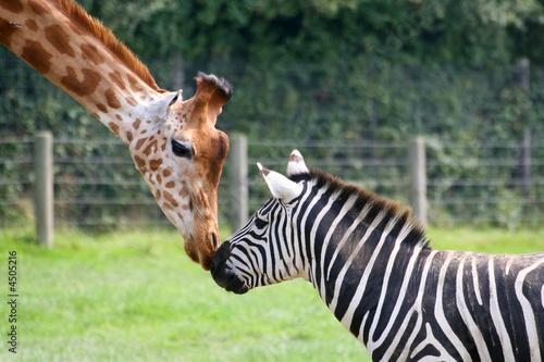 Poster Zebra zèbre et girafe
